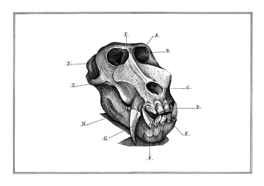 Crâne de babouin - encre sur papier, A3, 2015