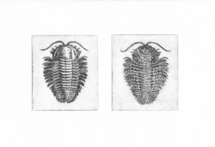 Trilobite - Pointe sèche sur renalon, A5, 2015